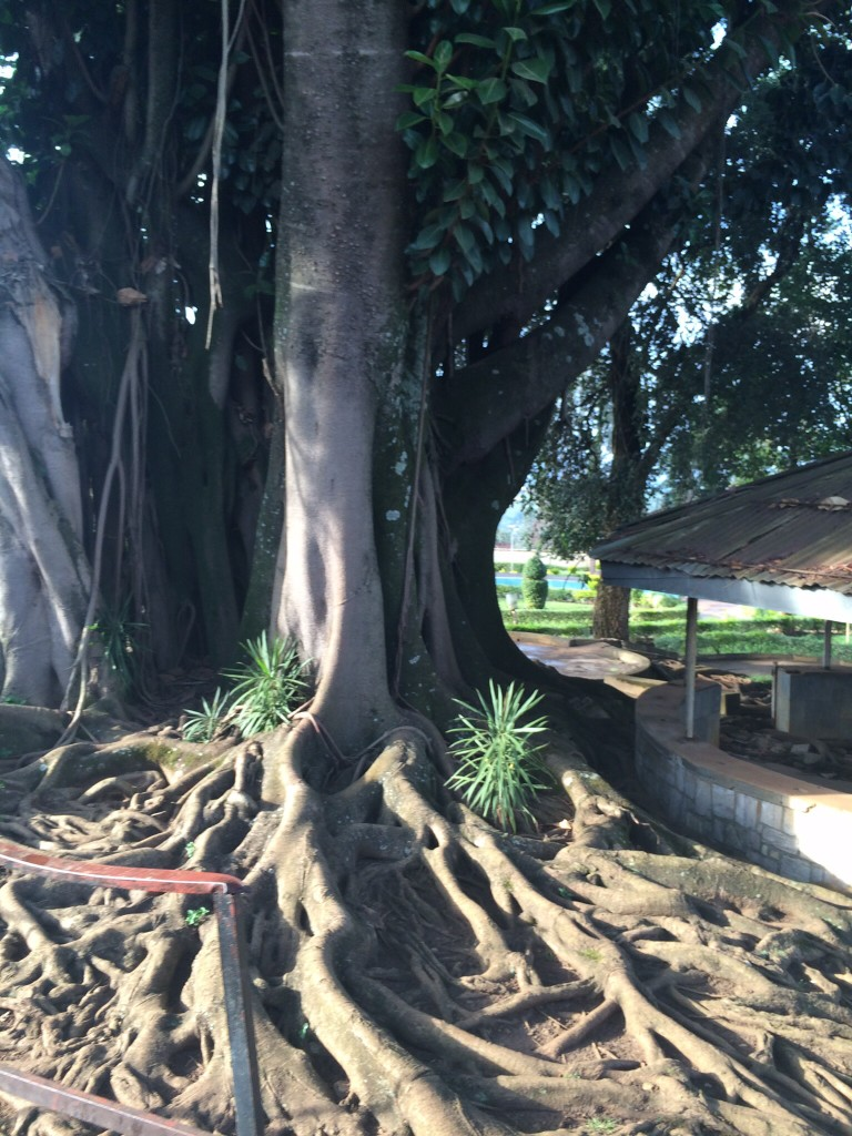 Baryon tree on the grounds of the Presidential Palace where the Genocide began when the President's plane was shot down. It killed him and the president of Burundi.